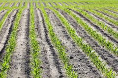 Field of green corn Stock Photos