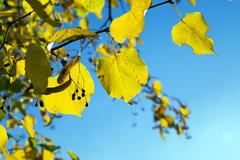 yellowed maple leaves - stock photo