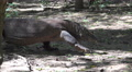 4k Komodo dragon very close up walking under mangrove trees Footage
