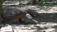 4k Komodo dragon very close up walking under mangrove trees Stock Footage