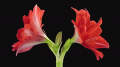 Time-lapse of opening Hot Peacock amaryllis in RGB + ALPHA matte format Stock Footage