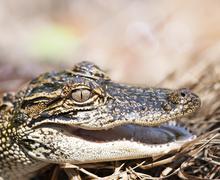 Young American Alligator Stock Photos