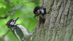 Great Spotted Woodpecker feeds insects to a chick Stock Footage