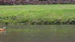 Funny wild duck floating on spring lake, green grass Stock Footage