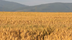 Golden ripe cereal field, mountains in background Stock Footage