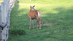 Baby deer feeding from mother deer in zoo park - stock footage