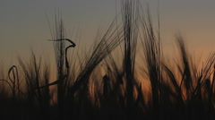 Cereals field art sunset Stock Footage