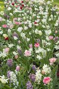 Abundance of spring flowers with pink tulips (Tulipa) and white narcissus Stock Photos