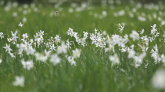 White gentle daffodils dancing in spring wind, green meadow, beatuiful nature Stock Footage