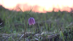 Fritillaria flowering on the spring meadow Stock Footage