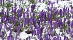 Crocus buds in the wind of late winter Stock Footage