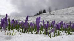 Crocus flowers growing from the snow on mountain Stock Footage