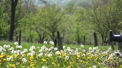 Father feet and little boy waking in blossom field, dandelion seed flying - stock footage