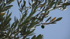 Green olive in the tree Stock Footage