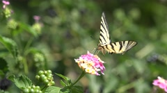 Swallowtail butterfly collecting nectar from flowers Stock Footage