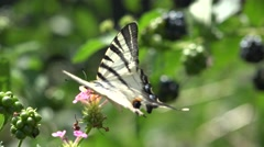 Swallowtail butterfly flying from flower to flower Stock Footage