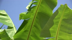 Banana tree leaves and blue serene sky - stock footage