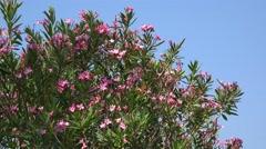 Pink oleander flowers in the mediterranean summer breeze Stock Footage