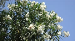 White oleander flowers and blue sky Stock Footage