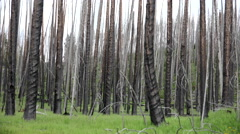 4K Green Grass Sprouts Around Mottled Scorched Trees - stock footage