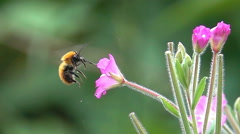 Bee bumblebee flying and flower Stock Footage