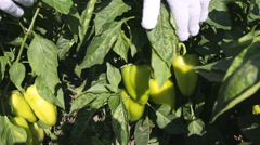 Man collects pepper crop Stock Footage