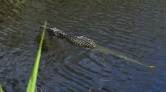 Everglades Florida alligator at wetlands of Everglades at Miccosukee Indian r - stock footage