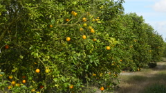 Oviedo Florida Chuluota orange groves farming with oranges on trees in sunshi Stock Footage