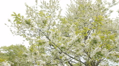 Spring flower on big cherry tree Stock Footage