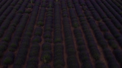 Aerial shot of lavender field Stock Footage