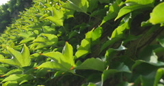 Ivy vine on wall of house close-up Stock Footage