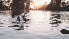 Ducks are Swimming in shining Lake Water. Slow Motion, 120 fps, 4K. Stock Footage