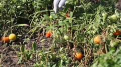 Hand of a young men harvesting mature tomatoes in a vegetable garden. Stock Footage