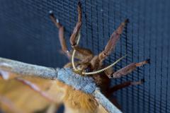 Cyclops Polyphemus Moth face Stock Photos