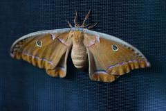 Cyclops Polyphemus moth Stock Photos