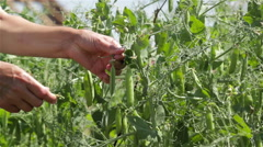 Collecting Sweet Peas In The Garden Stock Footage