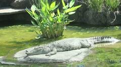 Crocodile Sunbathing Stock Footage