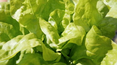 Farmer demonstrating a big bunch of the green salad leaves - stock footage