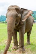 Elephant in protected nature park near Chiang Mai, Thailand - stock photo