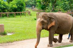 Elephant in protected nature park near Chiang Mai, Thailand Stock Photos