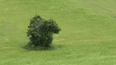 Tree in a wind-moved wheat field Stock Footage