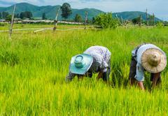 Farmers plant rice in rice field near Chiang Mai, Thailand Stock Photos