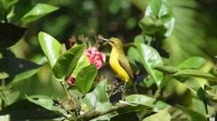Australian Olive-backed Sunbird feeding Stock Footage