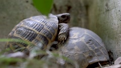 Two turtles coupling Stock Footage