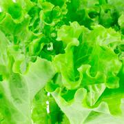 Lettuce leaves on a white background Stock Photos