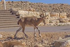 Roe deer in the arid desert Stock Photos