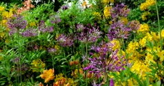 Allium and rhododendron, Botanical Garden of MSU, Moscow - stock footage