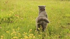 Scottish Fold cat walking on grass Stock Footage