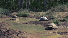 Giant tortoises in a waterhole on isla santa cruz in the galapagos Stock Footage