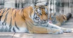 Wild animal the Amur tiger Stock Photos